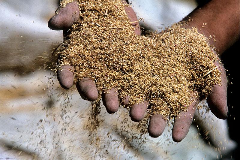 amaranto-mexico-organico-justo