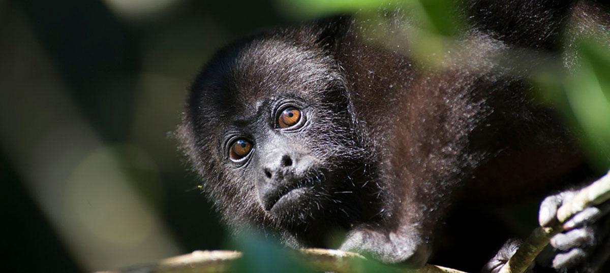 mono-chango-chiapas-selva-mexico